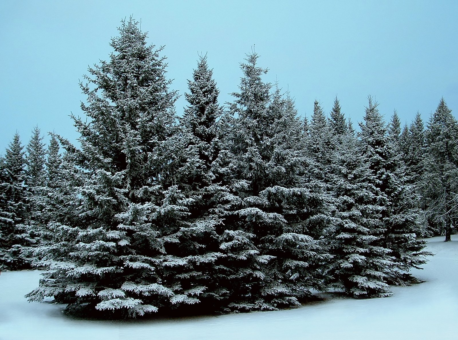 Best slim artificial blue spruce Xmas trees